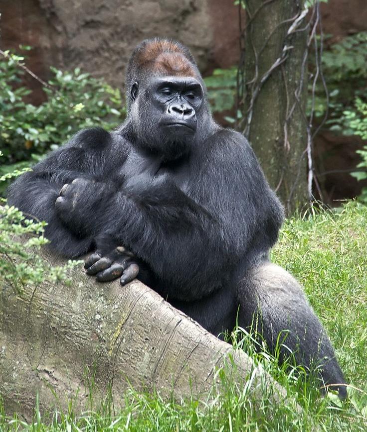 """Gorila en """"Loro Parque"""" de Canarias llega a asombrosos 40 años - cinabrio blog"""