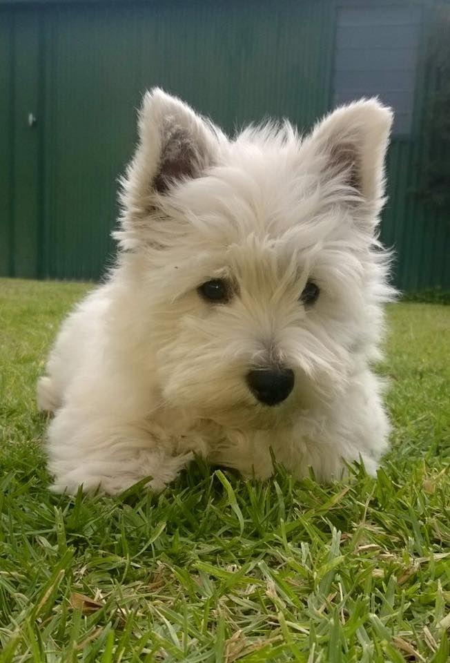 17 best images about westies
