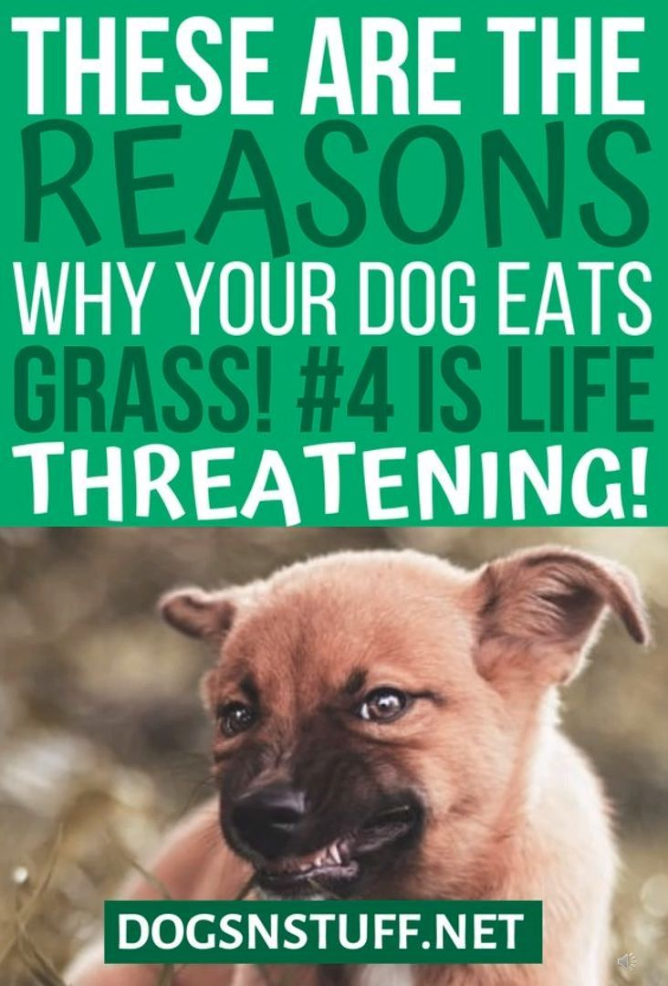 Reasons Why Dogs Eat Grass Dogs Eating Grass Dog Eating Best Dog Food Brands