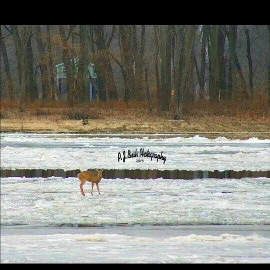 Deer on the Mississippi River