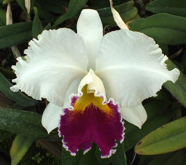 191 best images about cattleya hybrids alba semi alba on for Orchidea cattleya