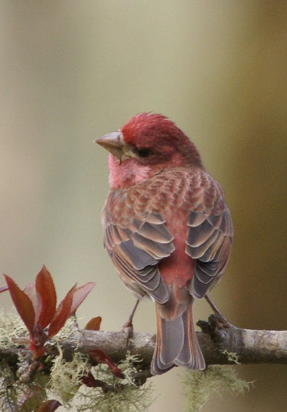 We have 2 nests with eggs in them of these red finches.  So pretty