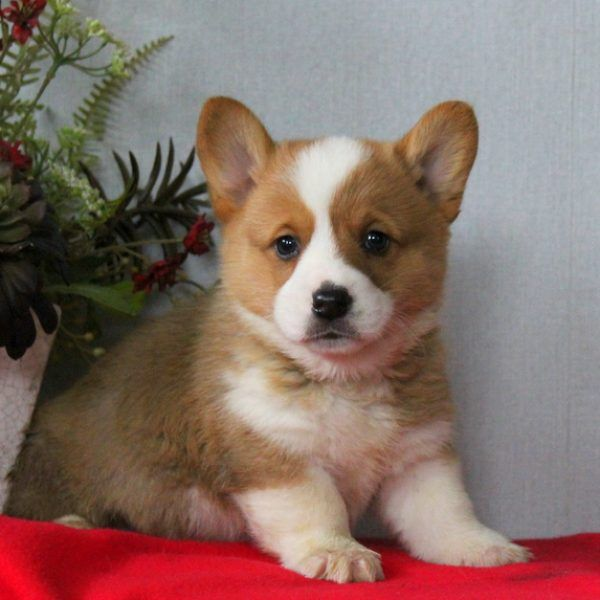 Oreo Beabull Puppy For Sale in Pennsylvania