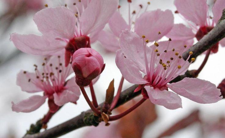 Die Blüten der Blutpflaume öffnen sich manchmal schon am Frühlingsanfang