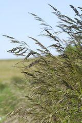 Molinia caerulea, Jättetåtel Arundinacea