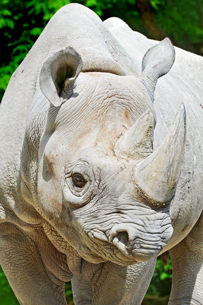 Female rhino portrait | Flickr - Photo Sharing!