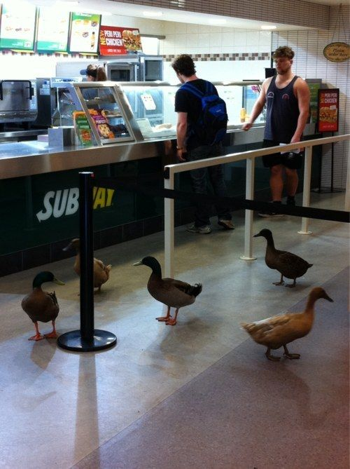 Ducks. Always expect ducks. | 18 Things Every University Of Wollongong Student Knows