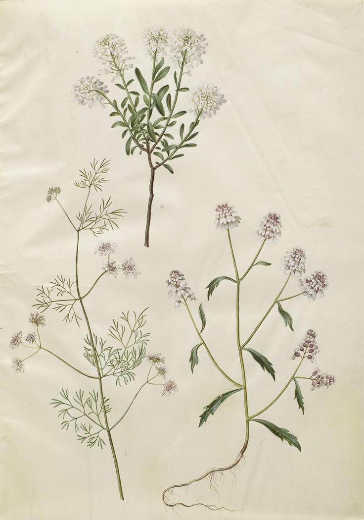 Iberis sempervirens; Coriandrum sativum; Iberis amara ?, KKSgb2950/9