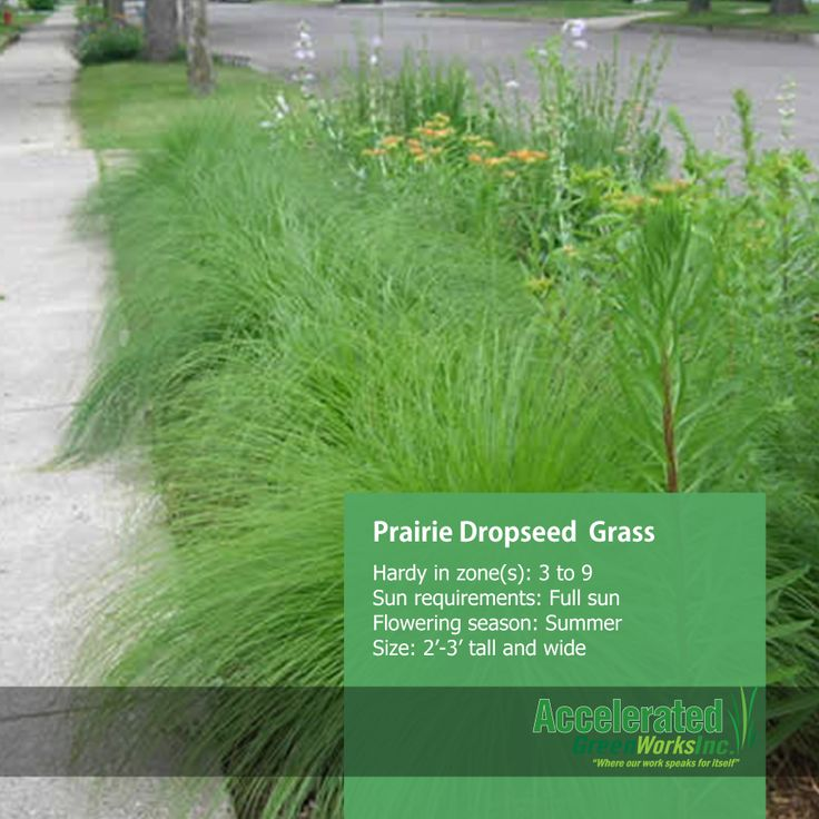 17 best images about grasses on pinterest feathers for Ornamental prairie grass