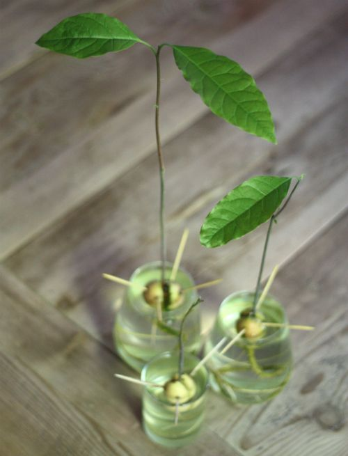 growing avocado from the pit