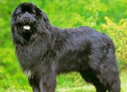 Raza de perro: Terranova