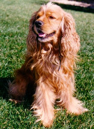 As soon as I get settled, I'm getting a little red cocker spaniel and naming her Moops. Love.