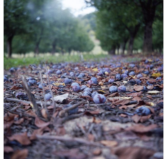 Fruitteeld gebied De betuwe. Gevallen pruimen in de boomgaard.