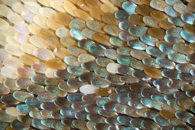 Butterfly wings are actually pretty clear—the colours and patterns we see are made by the colours and reflections of the tiny scales covering them.