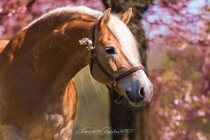 ♥ Ein Haflinger, ein Warmblut, ein Islandpferd-Norweger-Mix und ein Traber - dazu eine Gärtnerei mir einem tollen Kirschbaum. Was will man mehr? Nächstes Jahr möchte ich dort wieder fotografieren und wer will kann sich gerne anmelden für ein Portraitshooting mit Pferd! Die Gärtnerei ist Nähe…