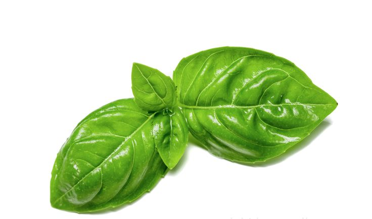 Basil leaves so fresh and vibrant...you can smell it!