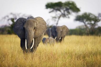 Elephants, Kenya.
