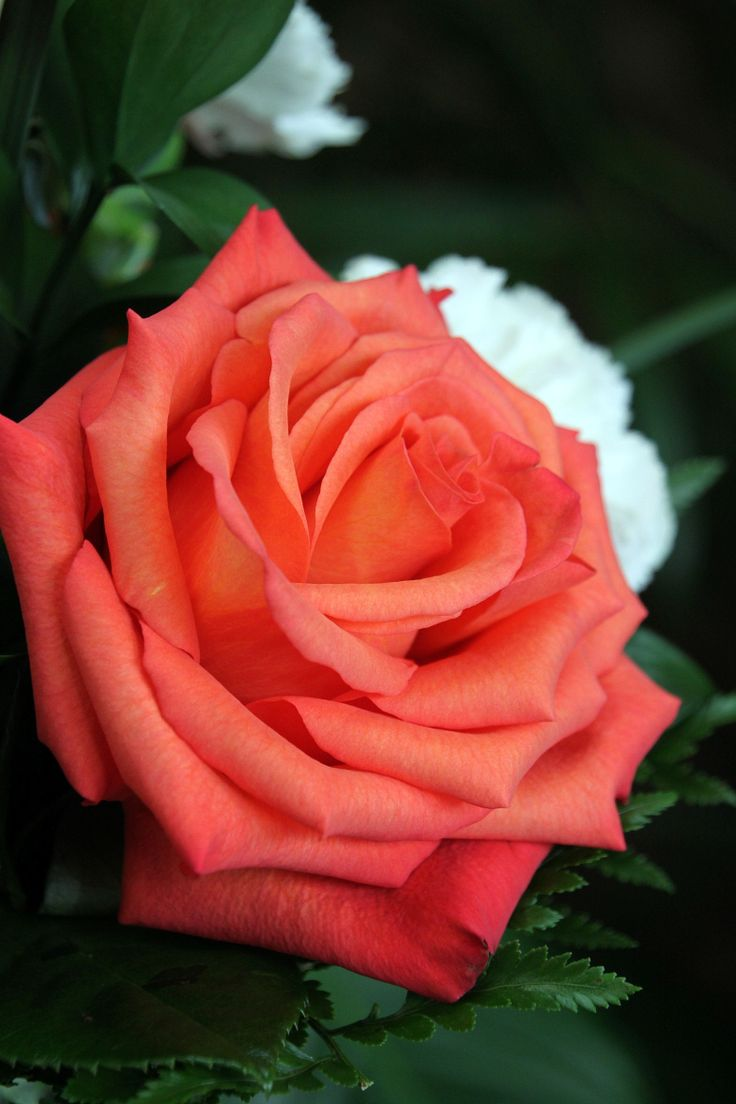 The 11 best Beautiful Roses images on Pinterest | Beautiful roses ...