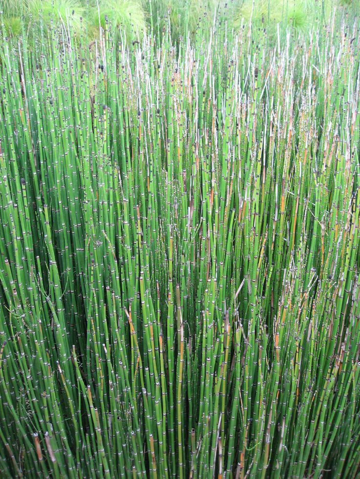 Horsetail Plant For Sale Online. Low Wholesale Prices