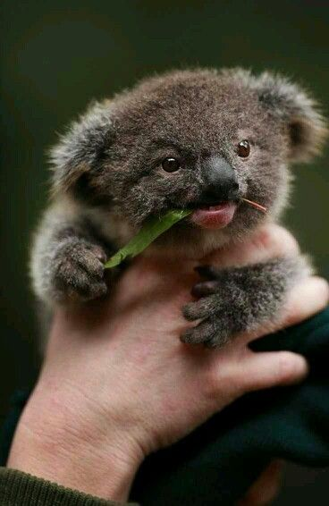 Koalas are too cute