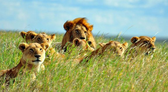In Photos: A Lion's Life | Lion Image Gallery, African Lions