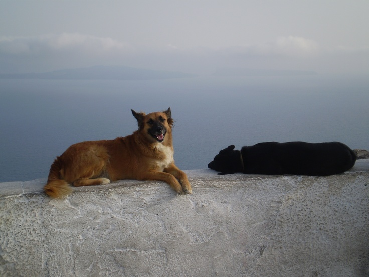 Santorini dogs, Greece. If they rolled over toward the water it was a VERY high drop.