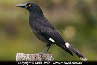 Pied Currawong - Strepera graculina - The word 'Pied' in its name tells you this bird is more than just black. Those little flashes of white on the wings and tail tell you you're not looking at a raven or a crow. A bright yellow eye and a bill which is slightly hooked at the end also help to identify these birds.  Currawongs will eat berries, insects and other small animals. They are even known to sometimes take the young from other birds' nests. Perhaps that's why I've seen them being…