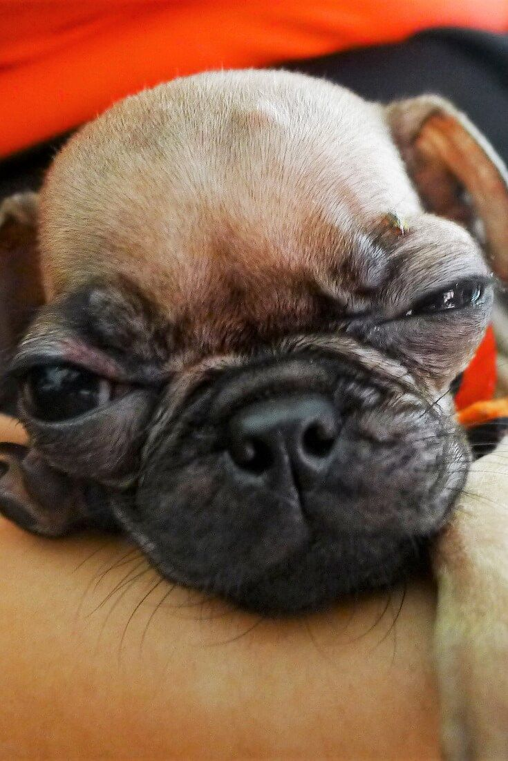 What Dog Food Do You Recommend For A Pug Puppy Pug Puppies