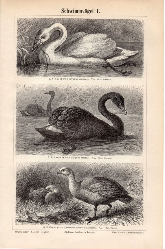 1897 Antique Swimming Birds Print Swans Mute Swan by Craftissimo, €12.95