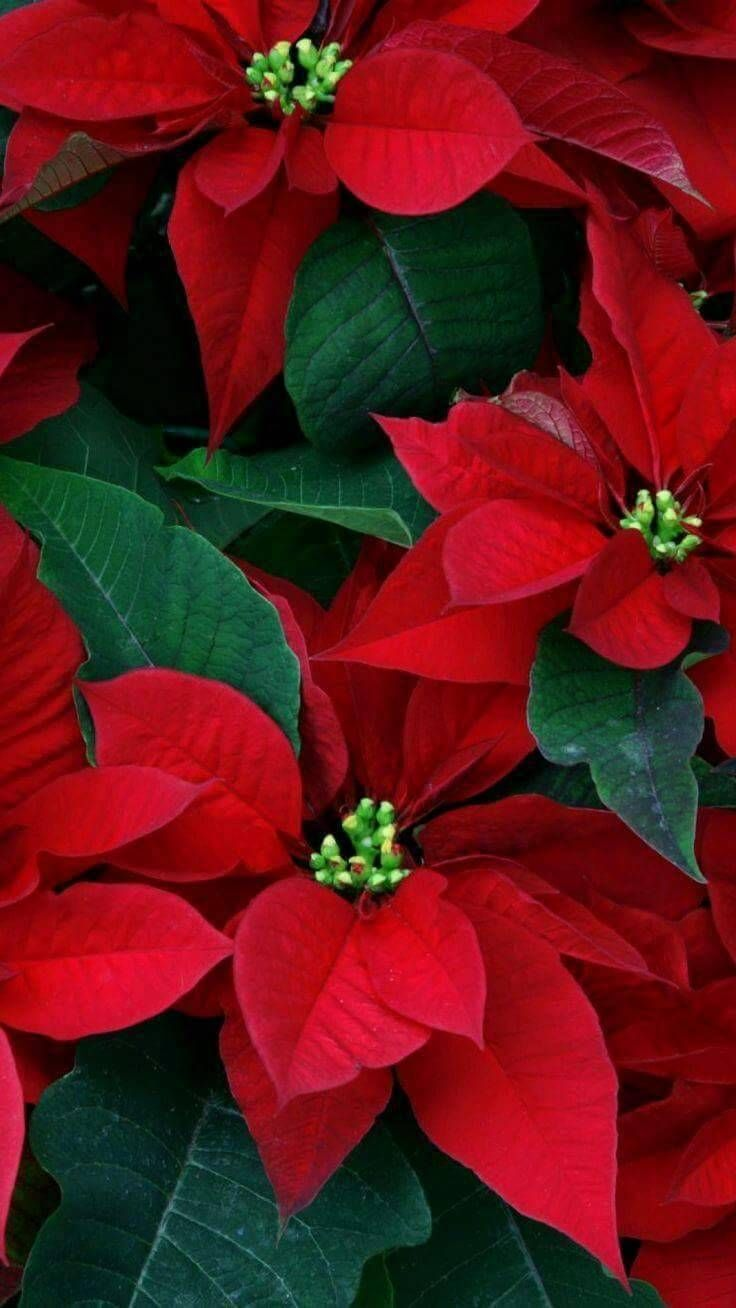 Pearl Photo Christmas Flowers Poinsettia Plant Poinsettia