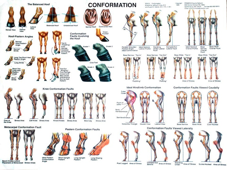 Conformation - visual chart