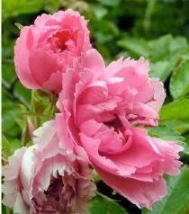 Rosa pink grootendorst