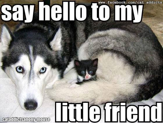 Funny Meme To Say Hello : 43 best siberian huskies. images on pinterest siberian huskies
