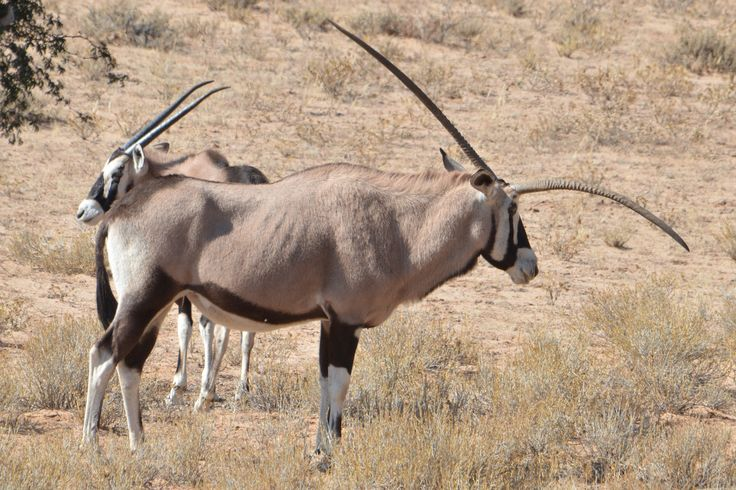 This Gemsbok (Oryx) had a extraordinary horn that had grown completely skew. Injury? birth defect? I don't know...