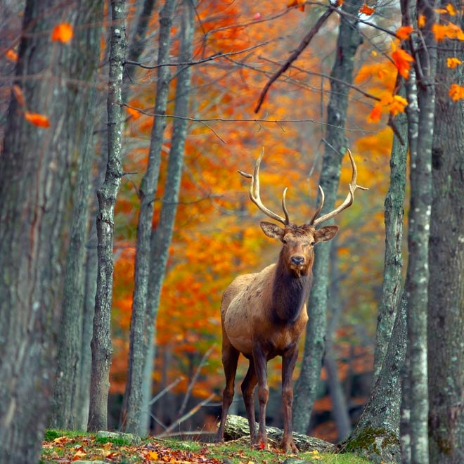 Rustic Pine Toung And Groove Interior Design: Nature Photography, Deer Print, Rustic Wall Art, Fall