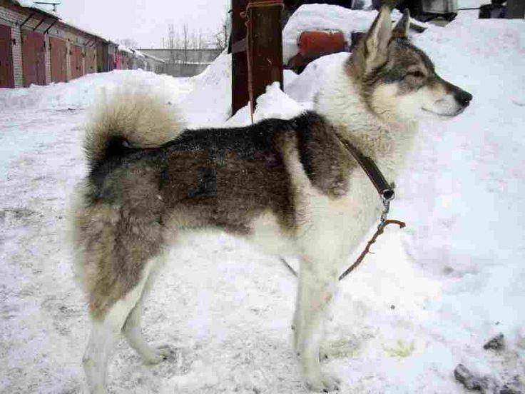 West Siberian Laika Dog | Canines | Pinterest