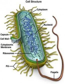 Bacteria live in our irrigation, our food, and our bodies. Much what we know about bacteria was learned by scientists fight bacterial diseases. But of the thousands of types of bacteria only a minority cause diseases. Many bacteria do things that are important and even helpful to us.