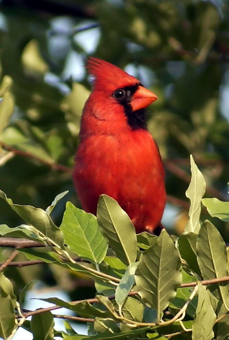 West Virginia Meme Bird
