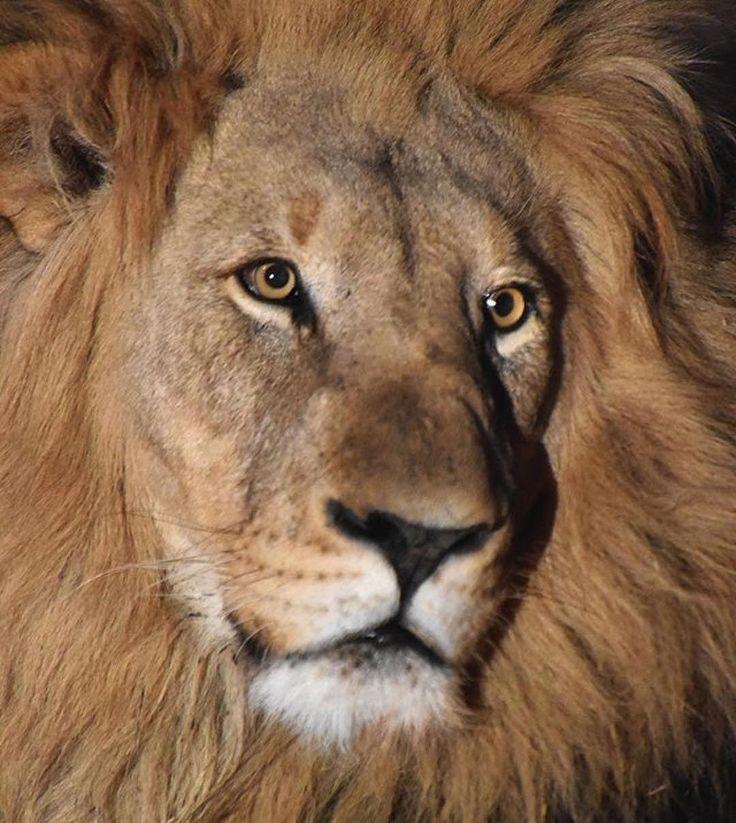 "279 Likes, 4 Comments - AVentura (@aventura111) on Instagram: ""Lion King"""