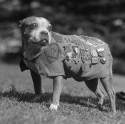 This is Sargeant Stubby, hero and veteran of WWI, and perhaps the most decorated War Dog in history.