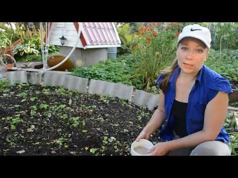 Чем подкормить пионы осенью, обрезка пионов - YouTube