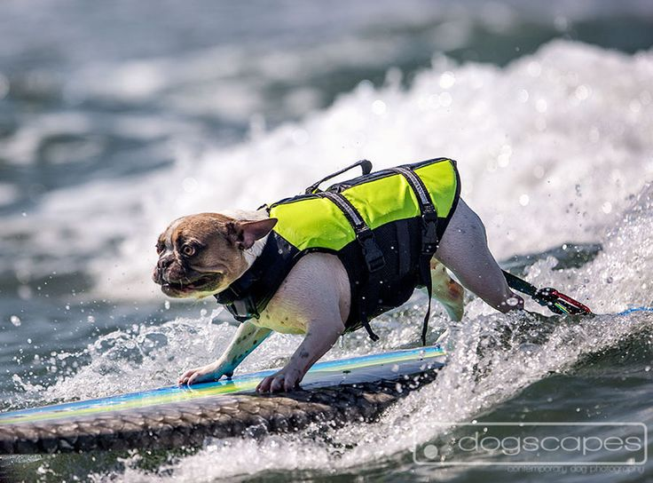 Cherie the frenchie shredding at her surfing lesson preparing for the Surf Dog Surf-A-Thon! Del Mar Dog Beach, San Diego :: dogscapes.com modern dog photography #french #bulldog
