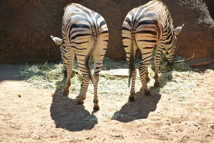 Perth Zoo - Do these stripes make our butts look big?