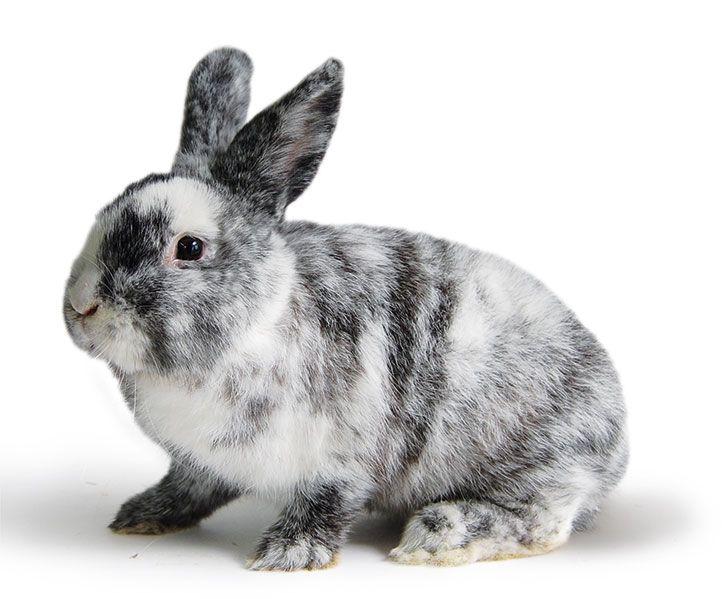 Kaninchenrassen - viele Rasseporträts bei kleintiernews