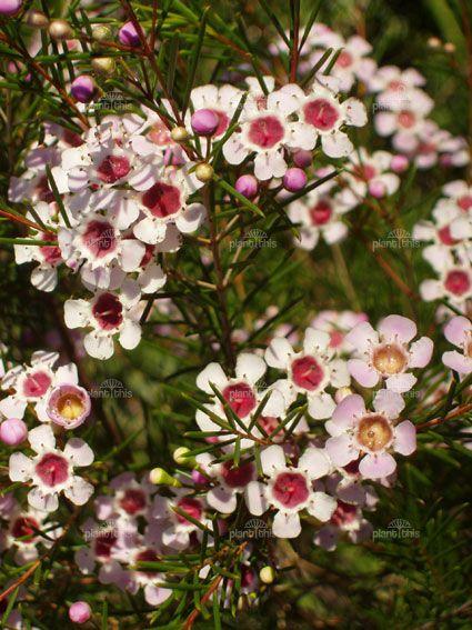 Chamelaucium uncinatum - Geraldton Wax Flower
