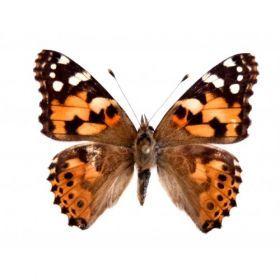Vlinders :: Vanessa cardui - distel vlinder