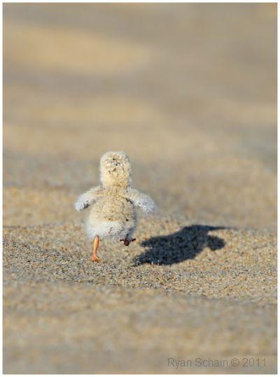 Run, Baby, Run. Pollito pío