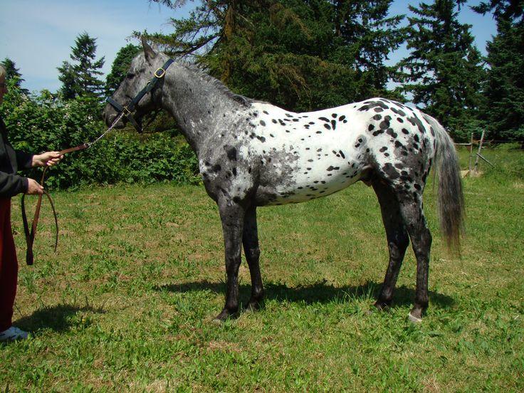 Appaloosa Horses | Appaloosa/ Blue Roan Gelding/ Sport Horse