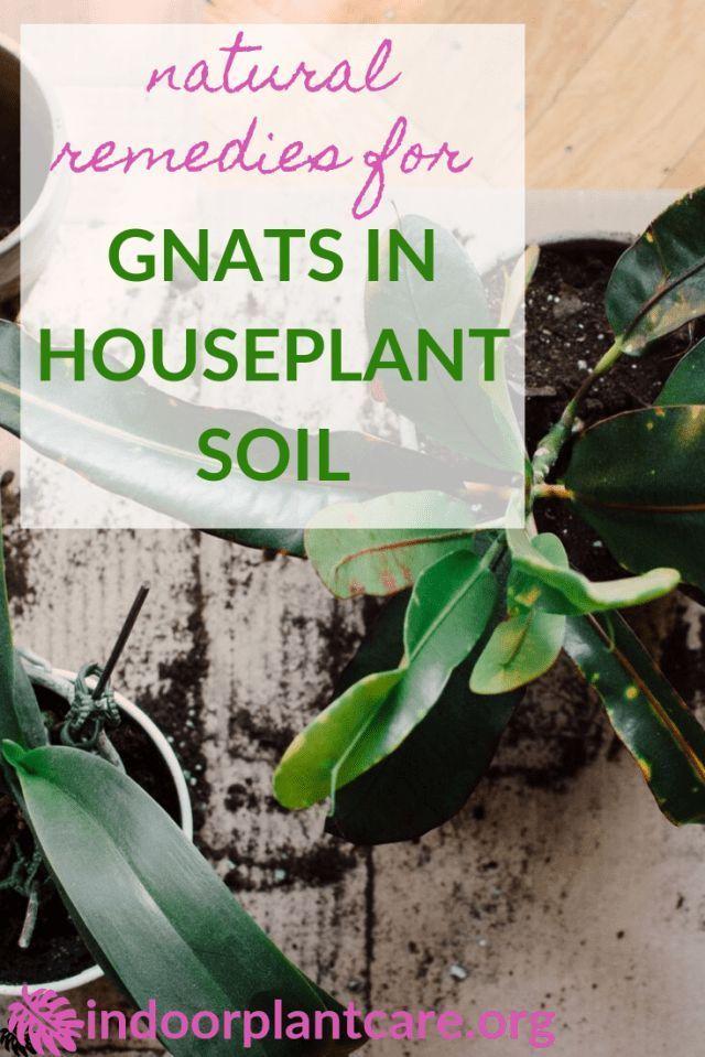 f9dc7c3603b9aea6d8713756f2c16c72 - How To Get Rid Of Gnats On Indoor House Plants