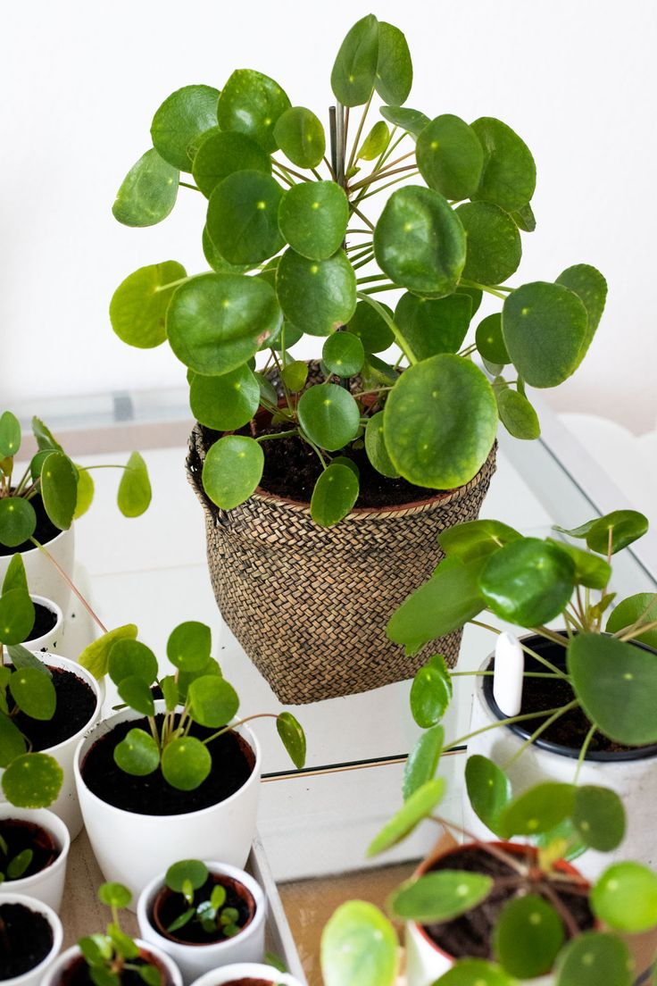 Pilea Plant – How to Take Offshoots